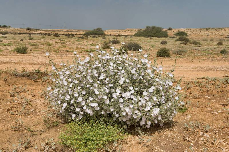 Blooming morning glory (Convolvulus cephalopodus) on waste ground at the entrance of Umm Bab in south-western Qatar, April 15, 2016