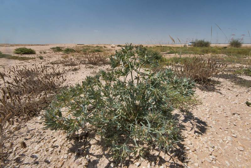 Spurge Euphorbia retusa with fruits in a roadside depression near Route 77 to Ras Laffan. Qatar, April 16, 2016
