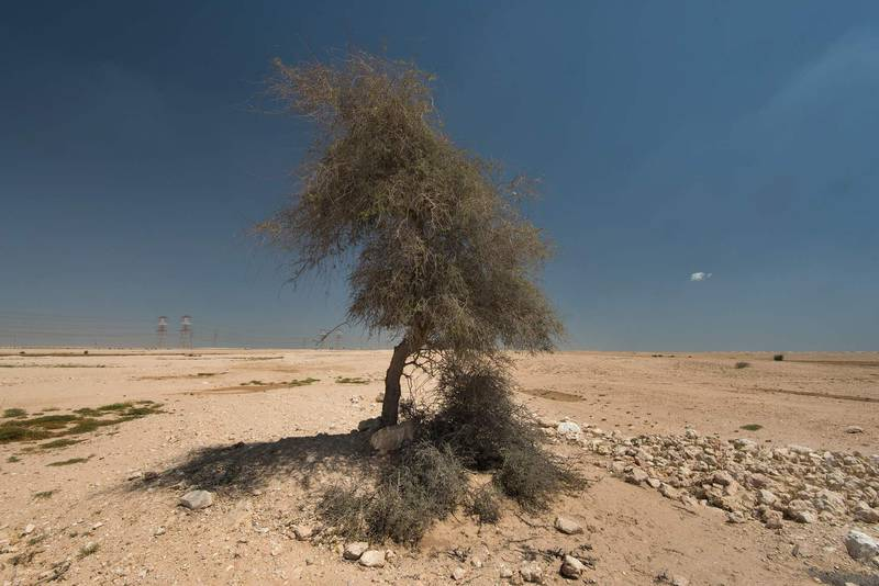 Ghaf tree (Prosopis cineraria) in a roadside depression near Route 77 to Ras Laffan. Qatar, April 16, 2016
