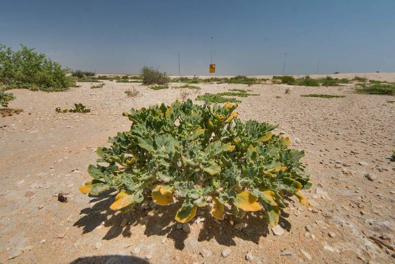 Virgin's Hand plant (Anastatica hierochuntica local names kaf mariam, jefaiea) in a roadside depression near Salwa Road. Qatar, April 22, 2016