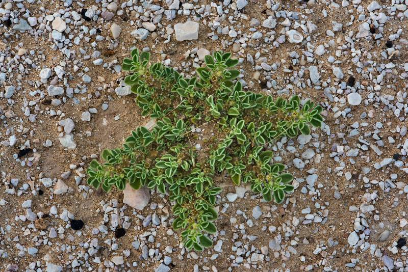 Star-shaped plant of purslane-leaved aizoon (Aizoon canariense) on a gravel plane in Harrarah (Al Kharrarah). Southern Qatar, April 23, 2016