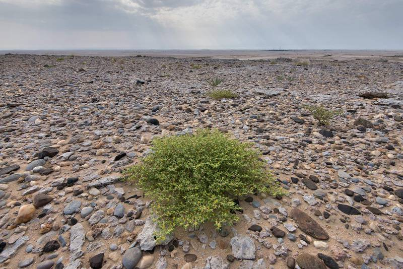 Plant of Zygophyllum simplex (Tetraena simplex, local name Daa, harm, hureim) on the top of limestone cliffs in Harrarah (Al Kharrarah). Southern Qatar, April 23, 2016