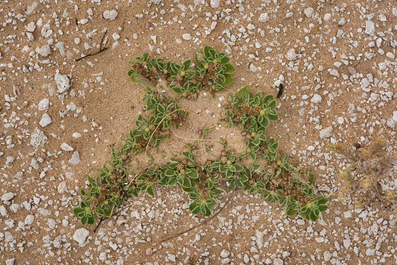 Plant of purslane-leaved aizoon (Aizoon canariense) partially covered by sand on a gravel plane in Harrarah (Al Kharrarah). Southern Qatar, April 23, 2016