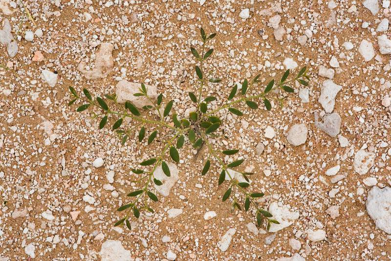 Plant of Fagonia ovalifolia(?) on a gravel plane in Harrarah (Al Kharrarah). Southern Qatar, April 23, 2016