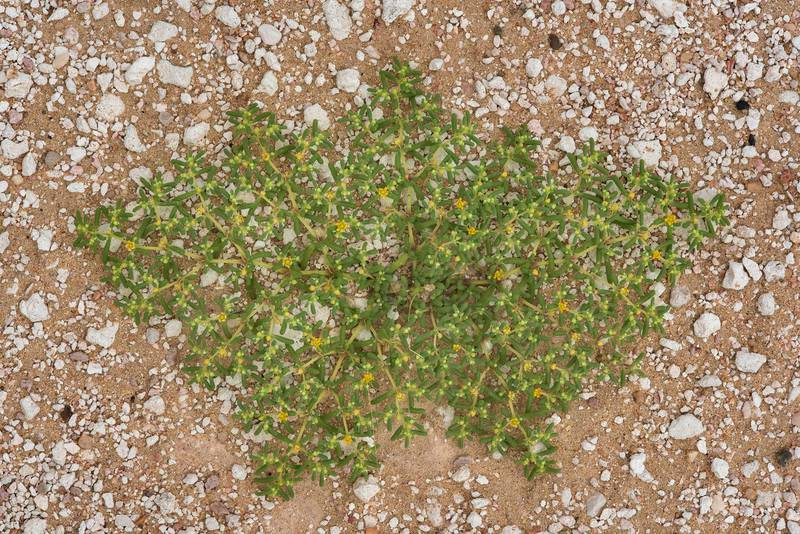 Flat plant of Zygophyllum simplex (Tetraena simplex, local name Daa, harm, hureim) on a gravel plane in Harrarah (Al Kharrarah). Southern Qatar, April 23, 2016