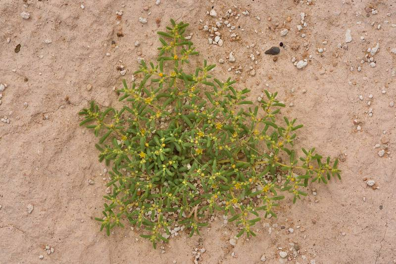 Plant of Zygophyllum simplex (Tetraena simplex, local name Daa, harm, hureim) with flowers on a gravel plane in Harrarah (Al Kharrarah). Southern Qatar, April 23, 2016