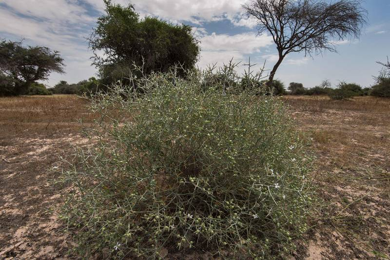 Bush of Zilla spinosa (local name shabram) in a green depression in Harrarah (Al Kharrarah). Southern Qatar, April 23, 2016