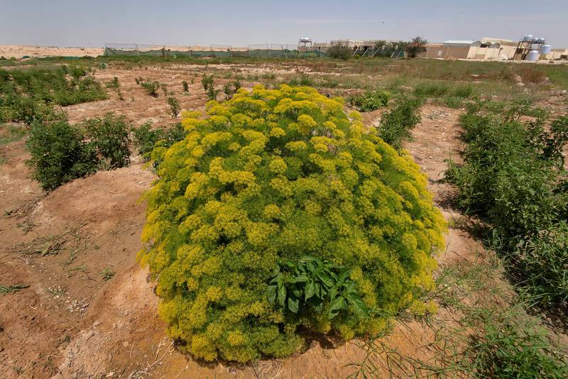 Blooming fennel (Foeniculum vulgare) in a kitchen garden in Harrarah (Al Kharrarah). Southern Qatar, April 23, 2016