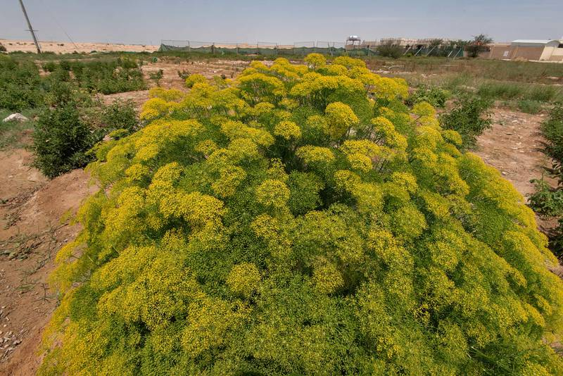 Flowers of fennel (Foeniculum vulgare) in a kitchen garden in Harrarah (Al Kharrarah). Southern Qatar, April 23, 2016