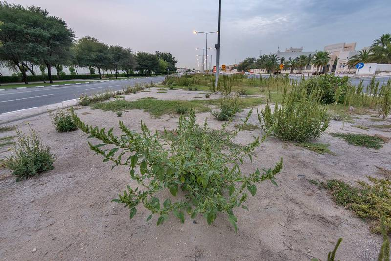 Amaranth (Amaranthus hybridus)(?) on a median strip of Al Istiqlal Street in Onaiza area. Doha, Qatar, April 24, 2016
