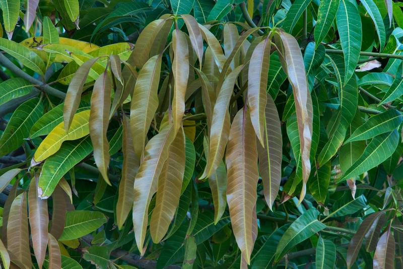 Leaves of mango tree (Mangifera indica) in Dahl Al Hamam Park at Al Markhiya Street. Doha, Qatar, April 26, 2016