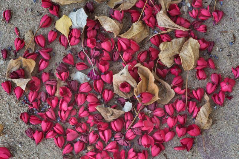 Petals of Jatropha integerrima in a park at Al Rafiei Street in Onaiza area. Doha, Qatar, April 27, 2016