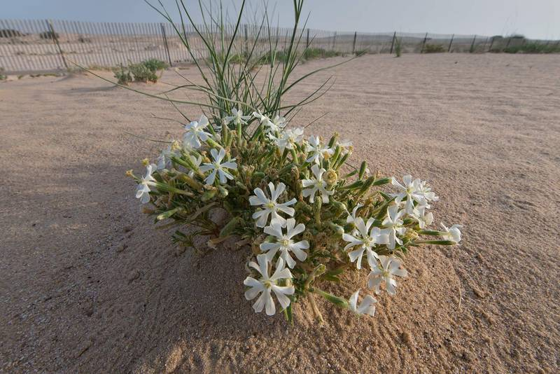 Blooming desert campion (Silene villosa, local name terba) in windblown sand on roadside of Salwa Road in area of Khashem Al Nekhsh. Southern Qatar, April 29, 2016