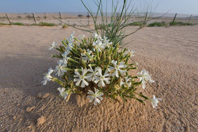 Flowers of desert campion (Silene villosa, local name terba) in windblown sand on roadside of Salwa Road in area of Khashem Al Nekhsh. Southern Qatar, April 29, 2016