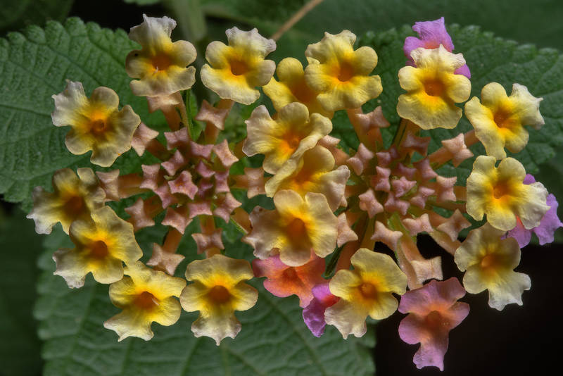 Flowers of Lantana camara in Rawdat Al Faras Research Station (RAFRS) near Al Zubara Road. Qatar, April 29, 2016