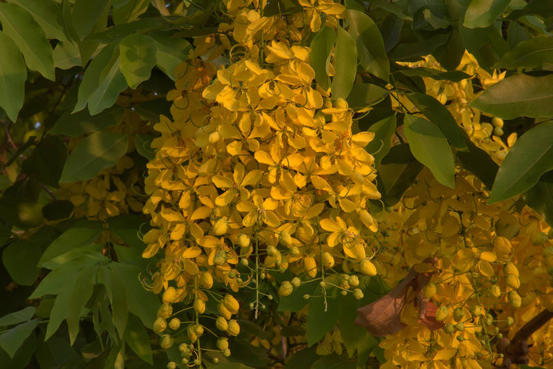 Golden shower tree (Cassia fistula) in bloom in Aspire Park. Doha, Qatar, May 17, 2016
