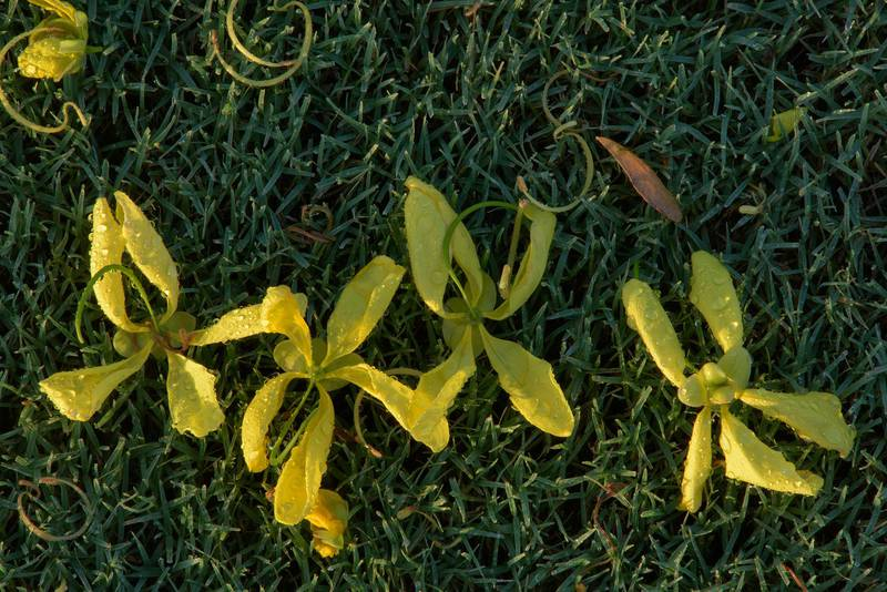 Flowers of golden shower tree (Cassia fistula) on the ground in Aspire Park. Doha, Qatar, May 17, 2016