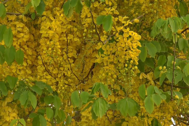 Blooming golden shower tree (Cassia fistula) in Aspire Park. Doha, Qatar, May 19, 2016