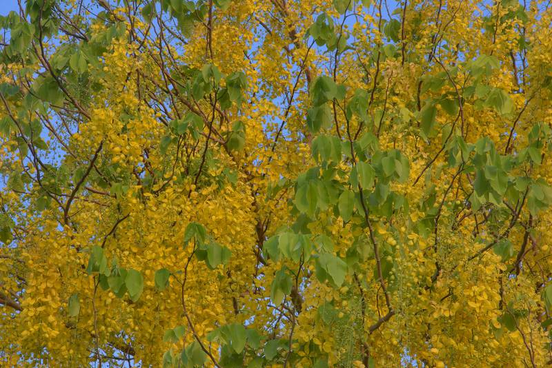 Golden shower tree (Cassia fistula) with flowers in Aspire Park. Doha, Qatar, May 19, 2016