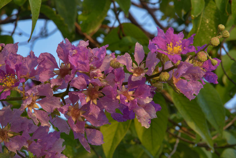 Flowers of Queen's crape myrtle tree (Lagerstroemia speciosa) in Aspire Park. Doha, Qatar, May 19, 2016