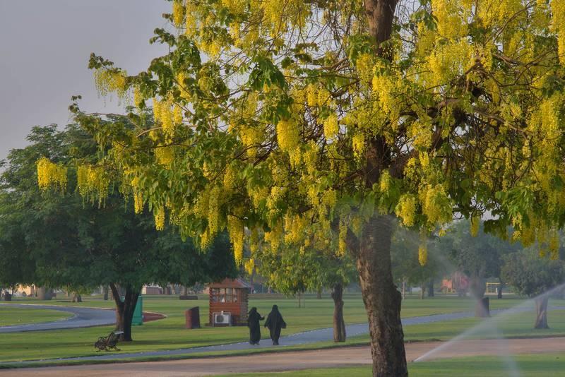 Golden shower tree (Cassia fistula) in Aspire Park. Doha, Qatar, May 19, 2016