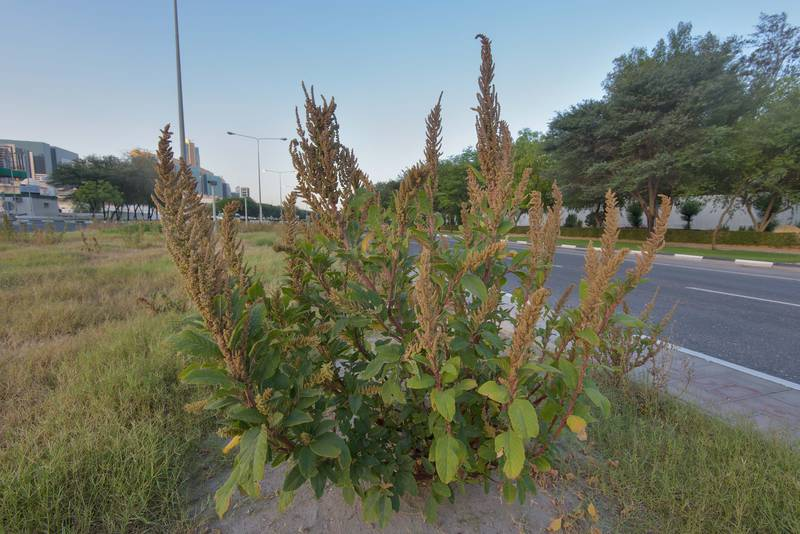 Amaranth (Amaranthus hybridus)(?) on the median strip of Al Istiqlal Street in Onaiza area. Doha, Qatar, May 22, 2016