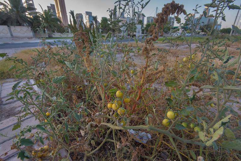 Tomato plant (Solanum lycopersicum) with yellow fruits on the median strip of Al Istiqlal Street in Onaiza area. Doha, Qatar, May 22, 2016