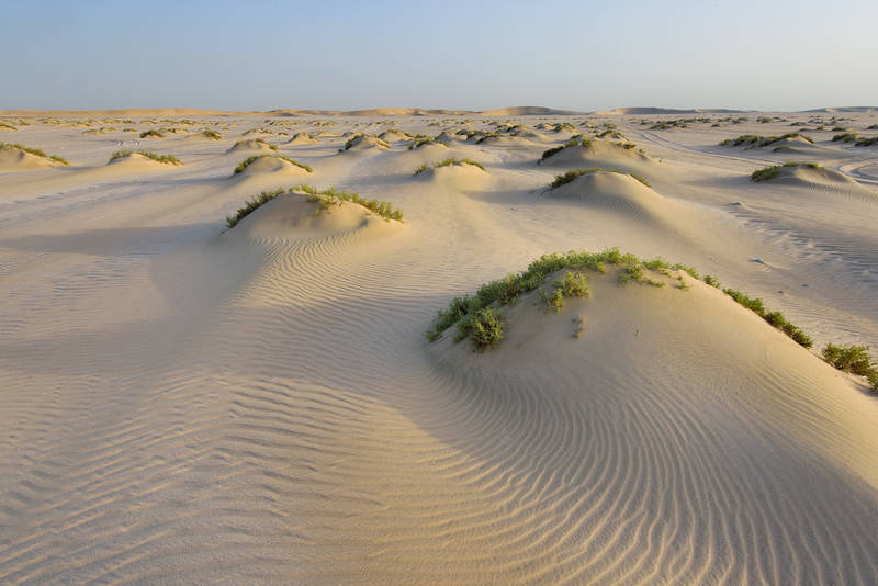 Sand mounds with Seidlitzia rosmarinus plants south from Sealine Beach Resort near Mesaieed. Southern Qatar, May 27, 2016