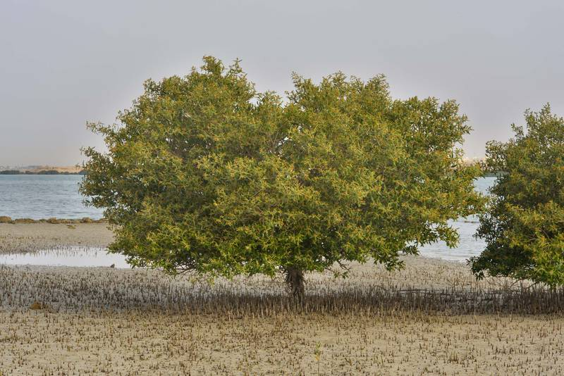 Mangrove tree (Avicennia marina) on Purple Island (Jazirat Bin Ghanim). Al Khor, Qatar, May 28, 2016