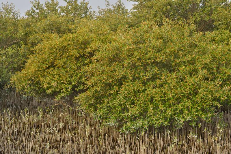 Mangrove (Avicennia marina) with aerial roots (pneumatophores) on Purple Island (Jazirat Bin Ghanim). Al Khor, Qatar, May 28, 2016