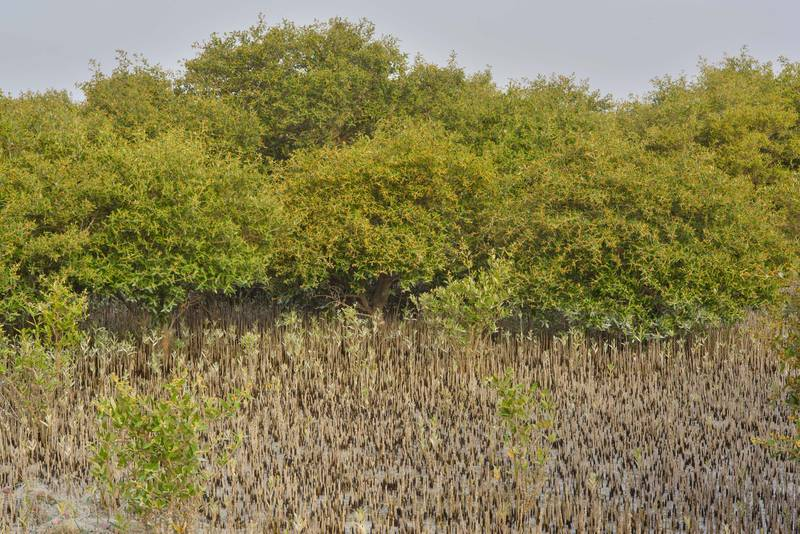 Mangrove forest (Avicennia marina) on Purple Island (Jazirat Bin Ghanim). Al Khor, Qatar, May 28, 2016