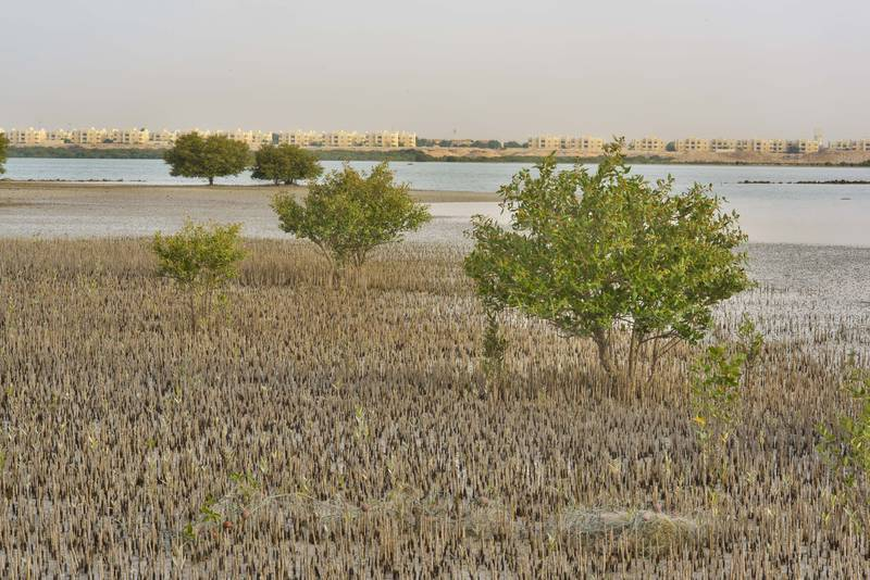 Mangrove (Avicennia marina) with aerial roots (pneumatophores) at low tide on Purple Island (Jazirat Bin Ghanim). Al Khor, Qatar, May 28, 2016