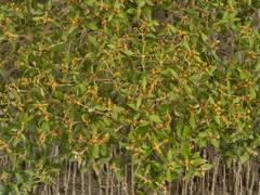 Purple Kholrabi Blankyt Easy to Grow-Hardy-Drought tolerant-Medicinal-UK Seller