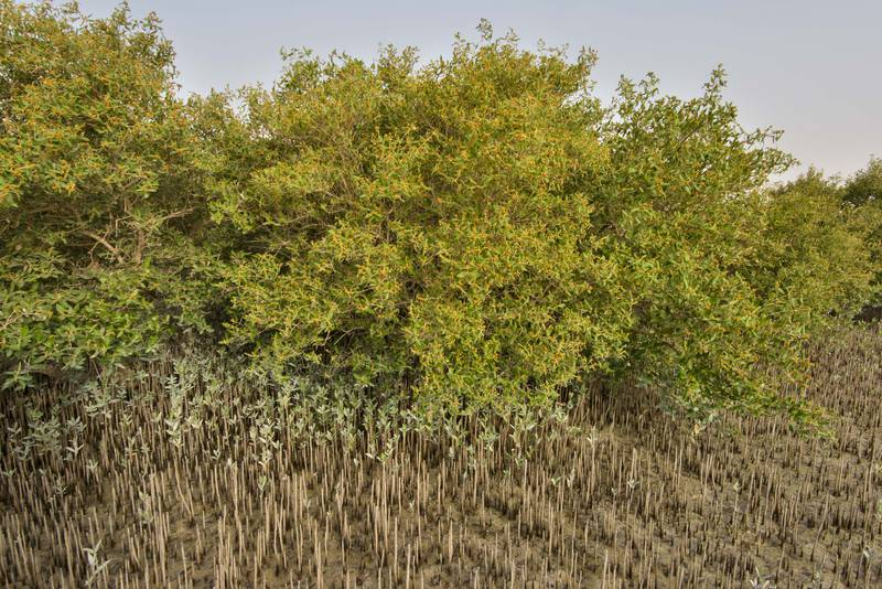 Mangrove (Avicennia marina) with saplings emerging from aerial roots on Purple Island (Jazirat Bin Ghanim). Al Khor, Qatar, May 28, 2016