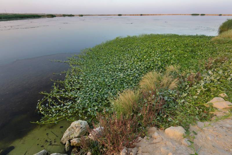 Spreading plant of water morning glory (water spinach, water convolvulus, Ipomoea aquatica) on a sewage pond near Irkhaya (Irkaya) Farms. Qatar, June 3, 2016