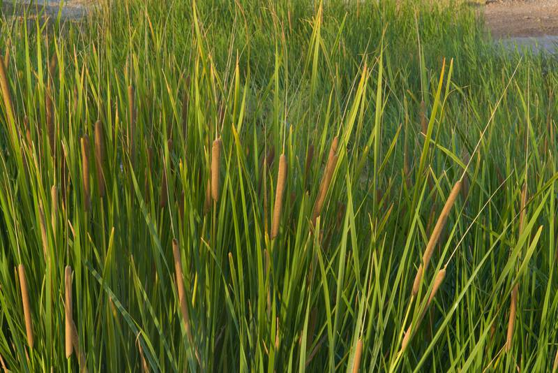 Southern cattail (Typha domingensis) with flowering spikes in area of sewage ponds near Irkhaya (Irkaya) Farms. Qatar, June 3, 2016