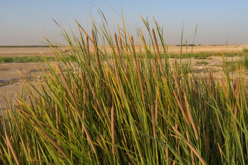 Flowering spikes of Southern cattail (Typha domingensis) in area of sewage ponds near Irkhaya (Irkaya) Farms. Qatar, June 3, 2016