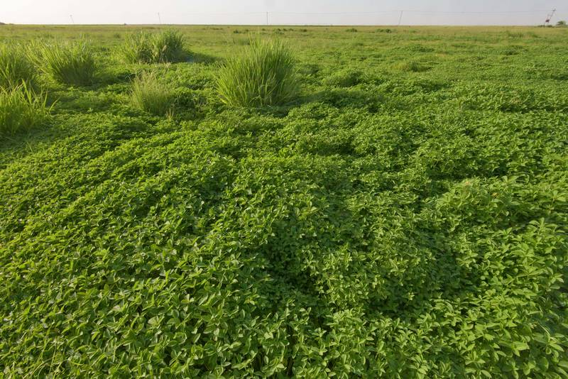 Masses of invasive desert spurge (summer poinsettia, Euphorbia heterophylla) on Green Circles (center-pivot irrigation) in Irkhaya (Irkaya) Farms. Qatar, June 3, 2016