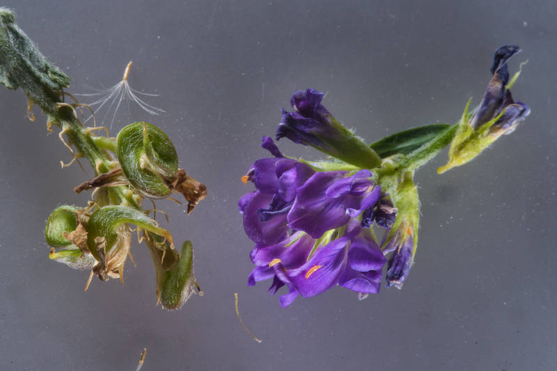 Flowers and fruits of alfalfa (lucerne, Medicago sativa) taken from Green Circles (center-pivot irrigation) in Irkhaya (Irkaya) Farms. Qatar, June 3, 2016
