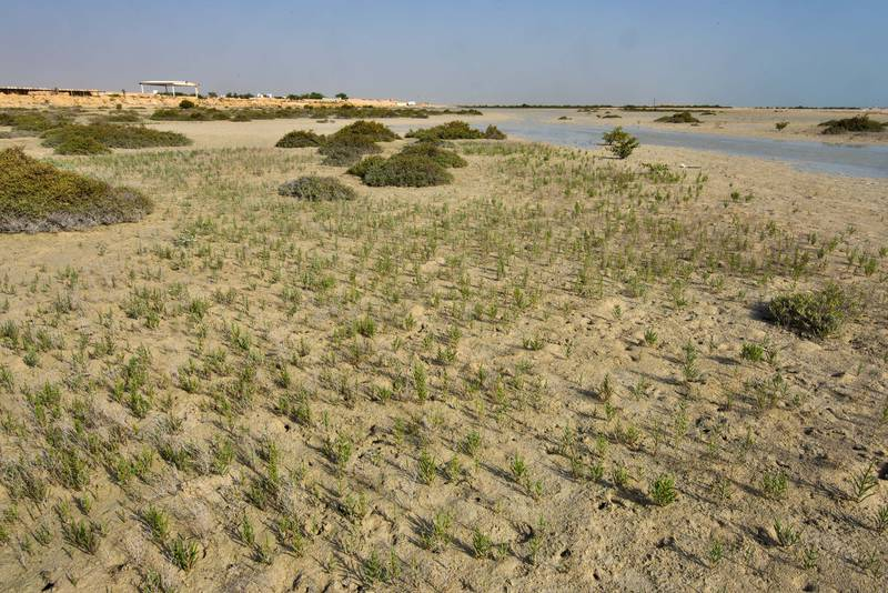 Glasswort (Salicornia europaea) on a beach near Fuwairit. Qatar, June 4, 2016