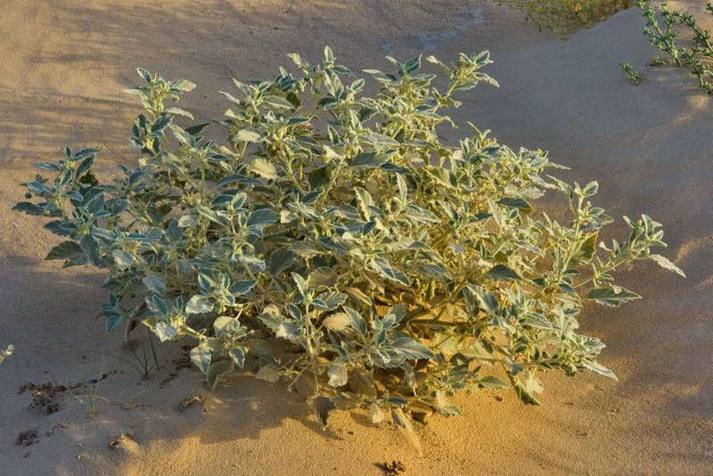 Woolly plant of dyer's croton (giradol, Chrozophora tinctoria, local names Tanoom, zerraij, tannom) in windblown sand on roadside in area of Jebel Al-Nakhsh (Khashm an Nakhsh). South-western Qatar, June 10, 2016