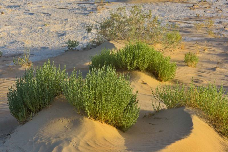 Sand mounds with plants of Anabasis setifera on roadside in area of Jebel Al-Nakhsh (Khashm an Nakhsh). South-western Qatar, June 10, 2016