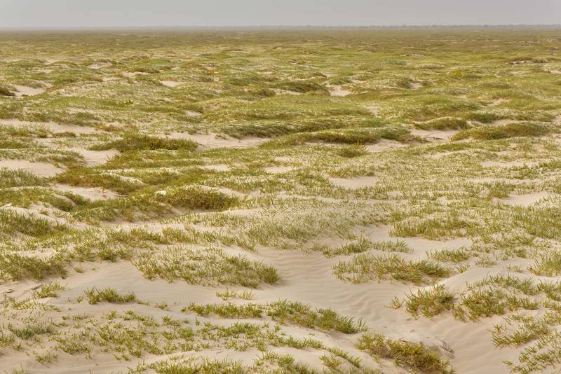 Salt marsh in Luwaima and Ras Al Qawar covered by plants of jointed glasswort (Halocnemum strobilaceum) north from Al Thakhira. Qatar, June 18, 2016