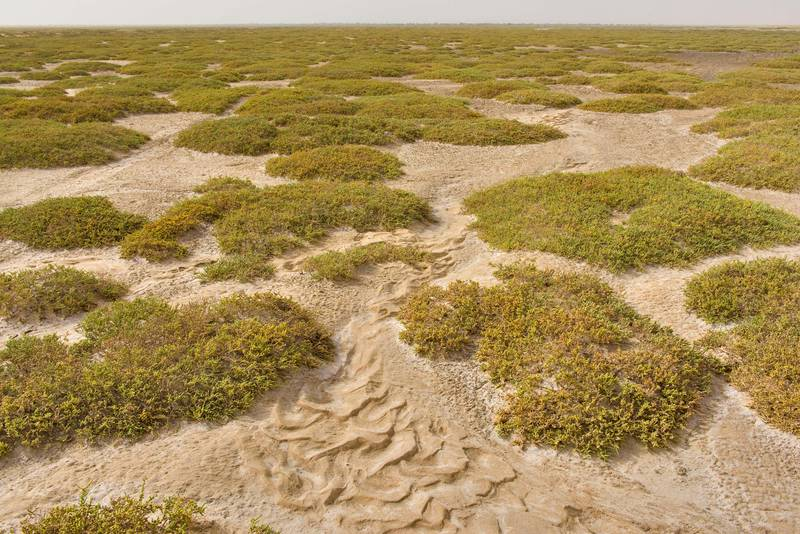 Mounds of jointed glasswort (Halocnemum strobilaceum) on salt marsh in Luwaima and Ras Al Qawar north from Al Thakhira. Qatar, June 18, 2016