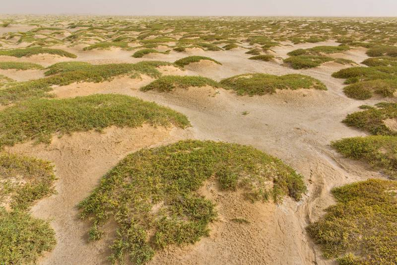 Green mounds of jointed glasswort (Halocnemum strobilaceum) on salt marsh in Luwaima and Ras Al Qawar north from Al Thakhira. Qatar, June 18, 2016