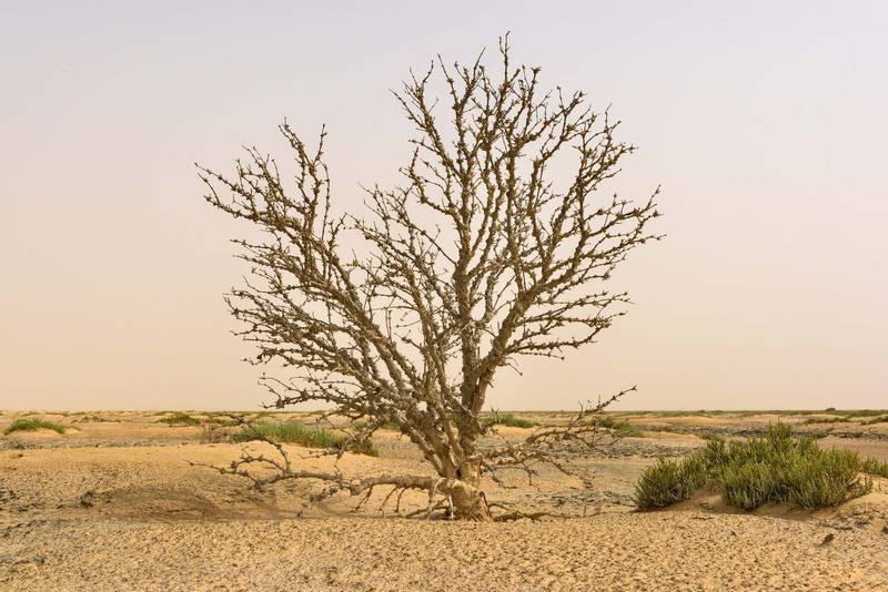 Dry mangrove tree (Avicennia marina) on salt marsh in Luwaima and Ras Al Qawar north from Al Thakhira. Qatar, June 18, 2016