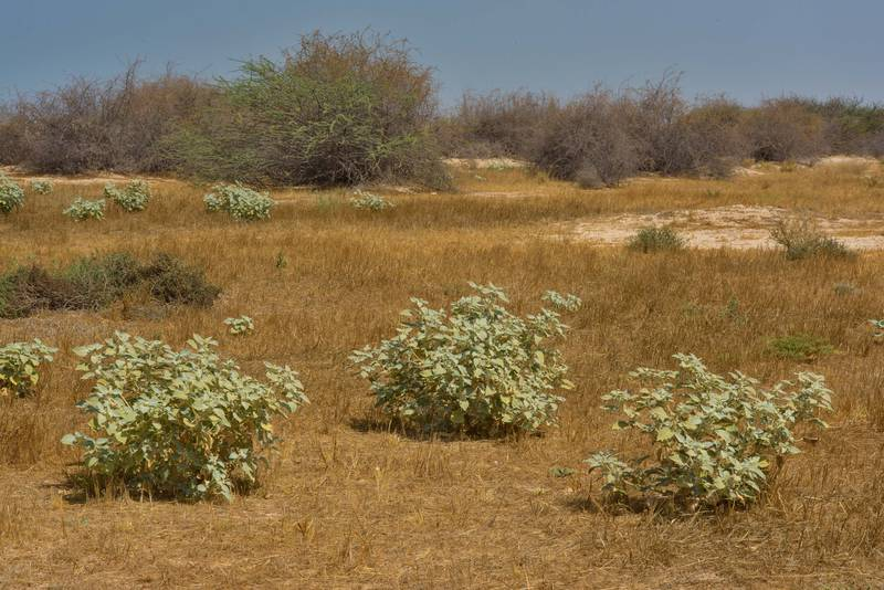 Plants of dyer's croton (giradol, Chrozophora tinctoria, local names Tanoom, zerraij, tannom) among dry grass in a depression north from Zekreet in Ras Abrouq Peninsula. Qatar, June 24, 2016