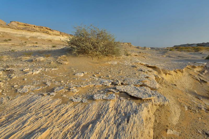 Bush of Salsola cyclophylla on limestone rocks in Maszhabiya (Al Mashabiya) Reserve near Abu Samra. Southern Qatar, June 25, 2016