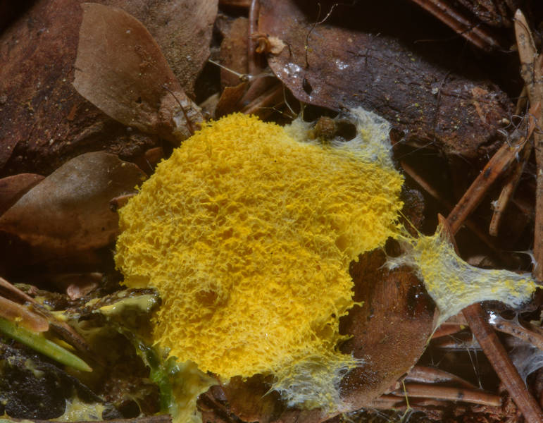 "Dog vomit slime mold <B>Fuligo septica</B> in a forest in Posiolok, near Vyritsa, 50 miles south from Saint Petersburg. Russia, <A HREF=""../date-en/2016-07-09.htm"">July 9, 2016</A>"