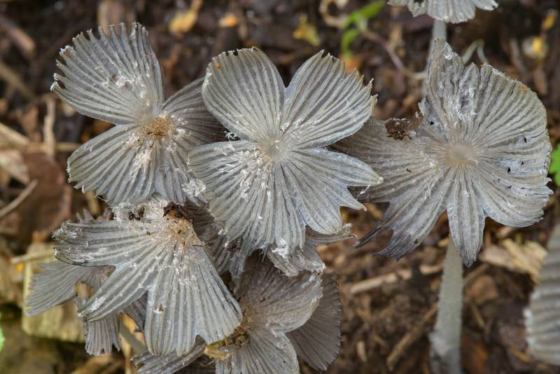 "Caps of gray shag mushrooms (<B>Coprinopsis cinerea</B>) on wood chips in Sosnovka Park. Saint Petersburg, Russia, <A HREF=""../date-en/2016-07-11.htm"">July 11, 2016</A>"